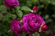 Krzewy róż , sadzonki róż , róże , róże pienne , róże w doniczkach