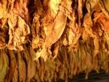 Sprzedam liście tytoniu tel. 663-535-221