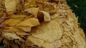 tytoń, liście tytoniu każda ilość, producent,