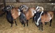 Tryki owcy kameruńskiej