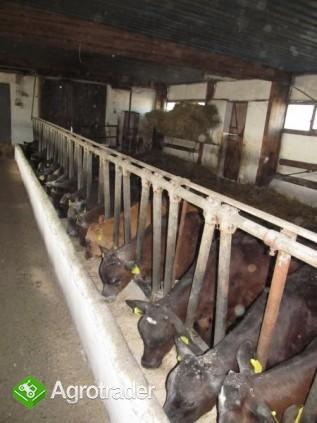 Cielęta żarłaki byczki - zdjęcie 1
