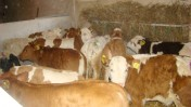 Sprzedaż Cieląt Mięsnych ZM BM Kobylin