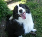 border collie pasterz