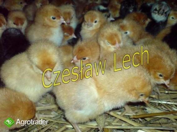 Kurczęta odchowane - zdjęcie 1