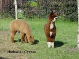 Alpaki, alpaka - Hodowla cygnus