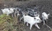 Prosięta Mangalica (Węgierska świnia pastwiskowa)