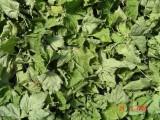 Liscie suszone czarnej porzeczki i brzozy - ekologia i certyfikat