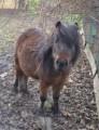 Koń miniaturowy - klacz, nie kucyk szetlandzki