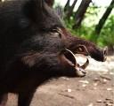 Muflony + dziki
