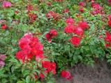 Sprzedam Róże Okrywowe