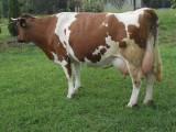 Krowa wycielona