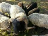 Owce wrzosówki sprzedam