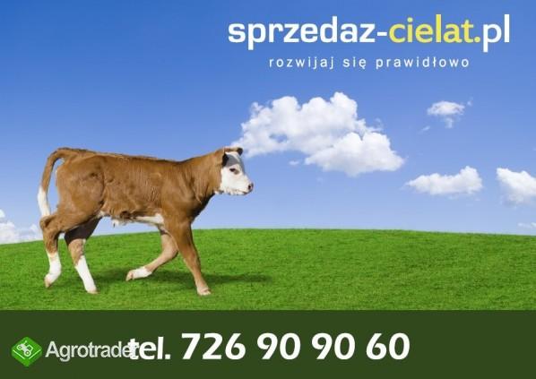 Byczki cielaki mięsne cielęta www.sprzedazcielat.pl - zdjęcie 5