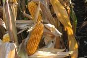 Skup zbóż-zapraszam-cena do uzgodnienia