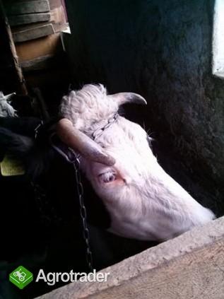 Sprzedam krowę  - zdjęcie 2
