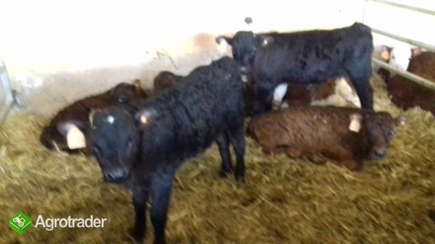 sprzedam cielęta oraz byczki mięsne Transport Gratis Na terenie Kraju  - zdjęcie 3