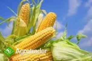 Kupię kukurydzę i inne zboża