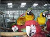 aras, kaczki, szare grey i jaja urodzajne
