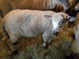 owce młode jagnięta