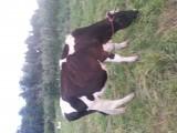 Krowa po pierwszym ocieleniu