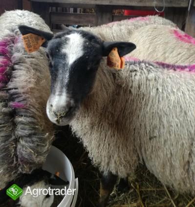 owca romanowska - jarki 2017 - zdjęcie 3