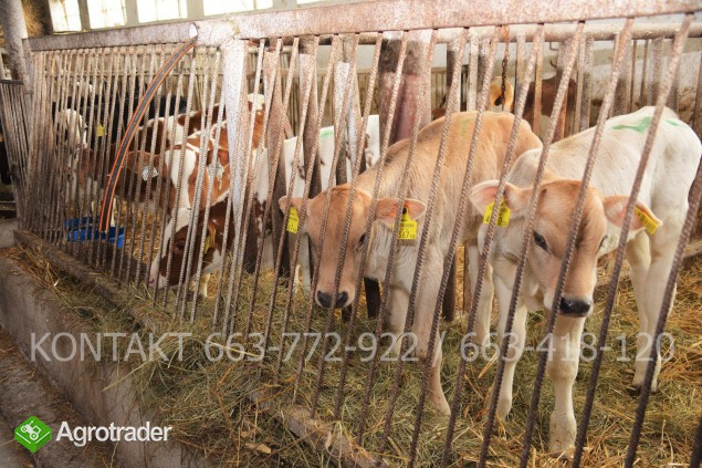 Byczki mięsne i NBC nowa dostawa