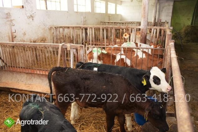 Byczki mięsne i NBC nowa dostawa - zdjęcie 4