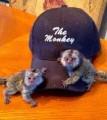 urocze małpy kapucynów