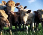 cielaki-byczki