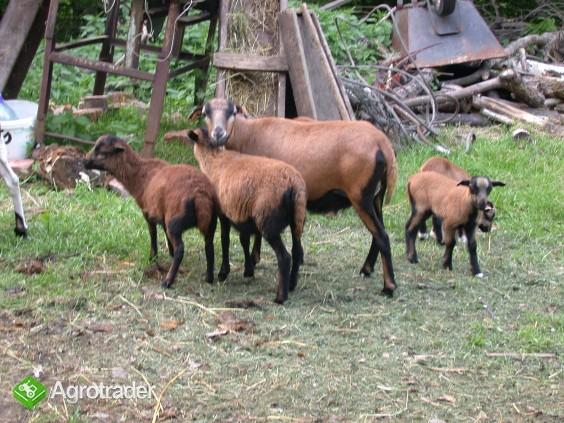 Owce Tryczki kameruńskie, Tryczka wrzosówka, Barbados. - zdjęcie 7