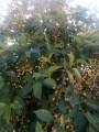 Sprzedam plantacje wiśni na pniu w pełni owocowania ponad 2hokoło60Ton