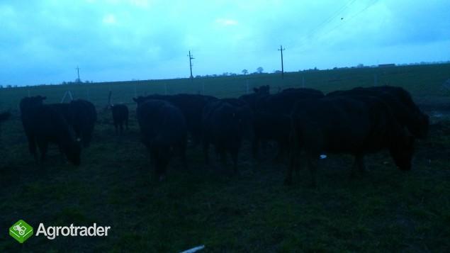 Krowy, jałówki Angus Czarny zacielone, cielne,