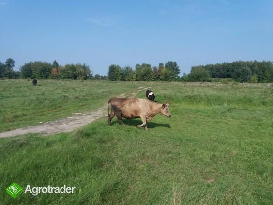 Krowy mleczne - sprzedam - zdjęcie 1