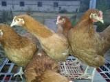 młode kury nioski