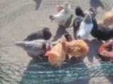 Młode kury nioski rasy Dominant, 10 kolorów