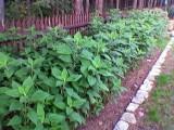 Topinambur - słonecznik bulwiasty