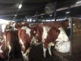 Simentale jałówki i krowy z linii mlecznej