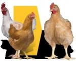 Jaja lęgowe brojlera do hodowli na zewnatrz