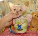 Szczeniak Chihuahua