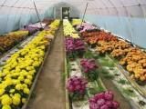 Sprzedam chryzantemy wielkokwiatowe