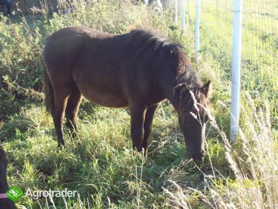 Młody koń, kuc!!Serdecznie polecam!!!! - zdjęcie 4